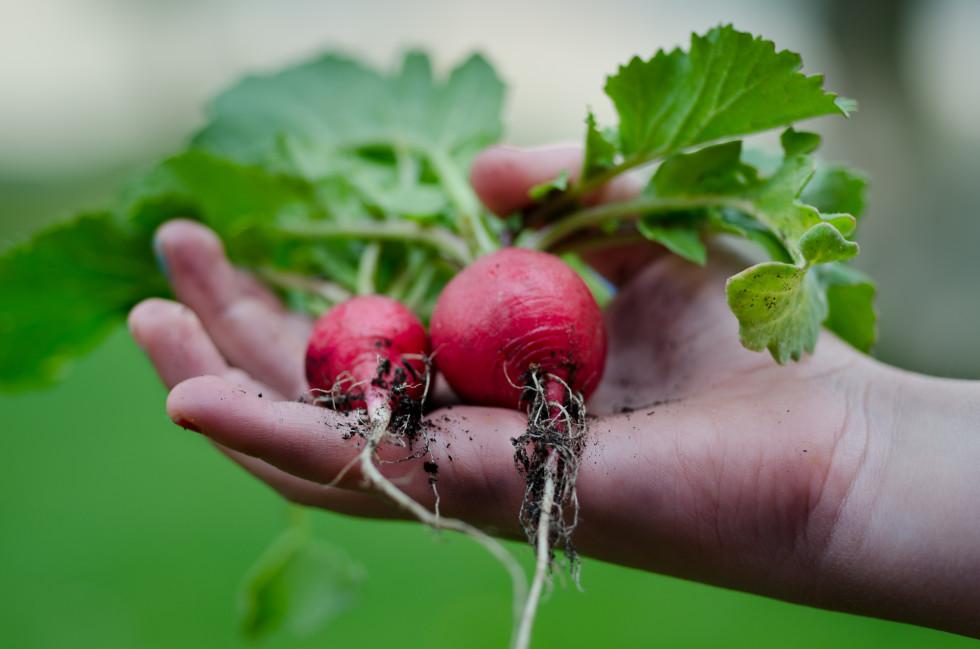 autumn gardening tips radishes